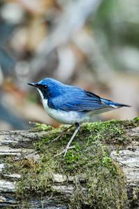 コルリ - 出会った野鳥たち