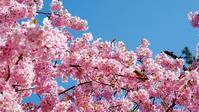 向春月 寫誌 ⑥ サクラサク…メジロとミモザ添え - le fotografie di digit@l