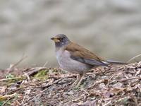 シロハラが近い - コーヒー党の野鳥と自然 パート2