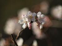 桜の開花 - エンジェルの画日記・音楽の散歩道