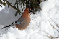 雪中の:亜種 ミヤマカケス - 武蔵野の野鳥