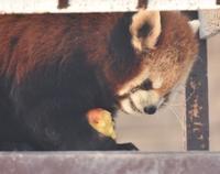 レッサーパンダとリンゴ - 徒然日記