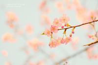 今日も桜です&フィーチャー - カメラをもってふらふらと