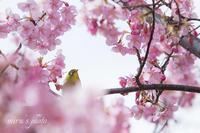 河津桜とスカイツリー♪ - MIRU'S PHOTO