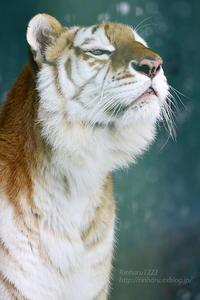 2016.12.17 東北サファリパーク☆ゴールデンタイガーのミッチェル【Golden tiger】 - 青空に浮かぶ月を眺めながら