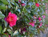 ◆花情報◆サザンカ [山茶花]の花 - 名鉄犬山ホテル情報