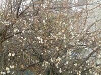 東風吹かば春遠からじ - 小さな庭のひだまりで