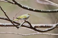 センダイムシクイ - 出会った野鳥たち