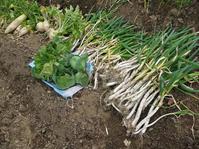 第4回山の恵みに乾杯!出展に向けにネギ、大根など収穫 - 北鎌倉湧水ネットワーク