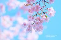 「桜ですか?」 - カメラをもってふらふらと