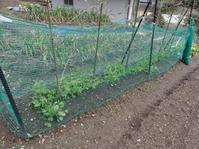 冬越し中の野菜 - 道草だより