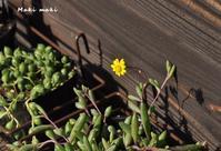 多肉の小さな花。 - Season of petal