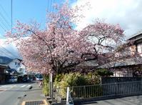 河津桜まつりが始まりました。 - 白壁荘だより  天城百話