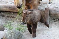 ゴールデンターキンの赤ちゃん~ムツ、軽やかに - 続々・動物園ありマス。