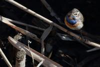 小川にて水辺の虫を捕食せりこれがまことのオガワコマドリ - 八分目とり日記 (Easygoing Photo Diary)