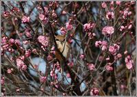 モズと梅の花 - 野鳥の素顔 <野鳥と・・・他、日々の出来事>