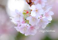 寒桜咲く - 長い木の橋