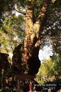 大楠 - ある日の足跡