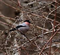 山間のウソを・・・ - 一期一会の野鳥たち