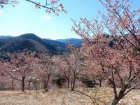 湯ヶ島、桜の里公園 - 白壁荘だより  天城百話