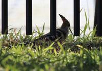 珍鳥・・・ヤツガシラ - 鳥見って・・・大人のポケモン