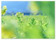 菜の花の朝。 - Yuruyuru Photograph
