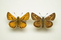 蝶か蛾か - てふてふ自然散策記