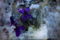 寒い庭  月の輝く夜が明けて - 里山ガーデン2