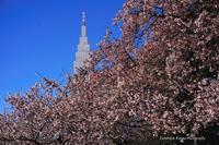寒桜&白梅--自由散歩@撮影 - くにちゃん3@撮影散歩