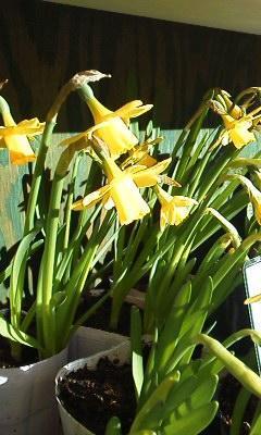 ミニスイセン - 目黒区都立大の花屋  moco    花と 植物で楽しい毎日     一人で全力で営業中