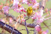 メジロと寒桜 - 長い木の橋