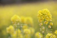 *菜の花* - HANA*HANA