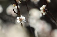 「春待梅」 東京 小石川後楽園 - 「せ」の写真集 刹那の光