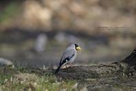 Japaneseな鳥です!イカル - healing-bird