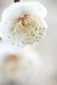 北野天満宮の梅その2 - 春の風
