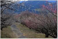 今日の松軒山梅林 - ハチミツの海を渡る風の音