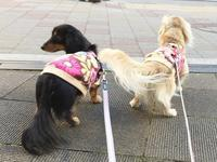 17年2月13日 ロング散歩♪ - 旅行犬 さくら 桃子 あんず 日記