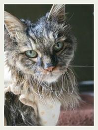 ご長寿猫 はんぞう との暮らし 「2月1日~2月5日の はんぞう」 - たびねこ