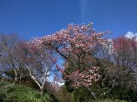 寒桜満開 - 上を向いて歩こう