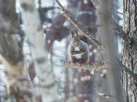 エゾリス君を探せ!~カラマツの木に4匹のエゾリス君がいます~ - 十勝・中札内村「森の中の日記」~café&宿カンタベリー~