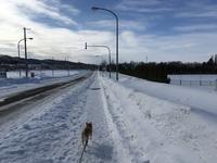 《地元訪問レポート》さっぽろ雪まつり。最終日いきました、そしてさくらはお泊りさん - 柴犬さくら、北国に生きる
