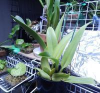 C.aurea カトレア ドーウィアナの状況_2.14 - ビカクとバンダと北国と
