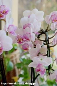 蘭の魅力と...ときめきと... - 毎日がばら色