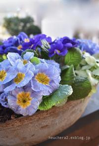 青いプリムラ・ジュリアンが好きです♪ - 小さな庭 2