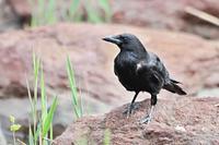 ハシボソガラス - 出会った野鳥たち