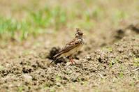 ヒバリ - 出会った野鳥たち