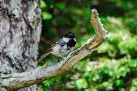 ヒガラ - 出会った野鳥たち
