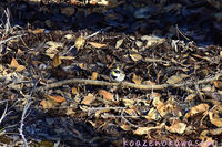 ミヤマホオジロ - 気ままな生き物撮り