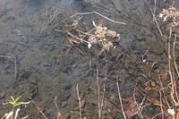 ■ ヤマアカガエルの卵塊   17.2.15 - 舞岡公園の自然2