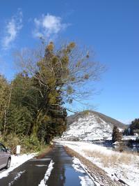 『寄生木(ヤドリギ)と根尾川雪風景~』 - 自然風の自然風だより